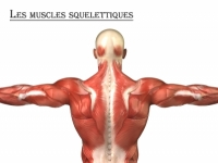 Muscles squelettiques