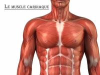 Muscle cardiaque