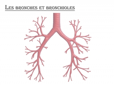 Bronches et bronchioles